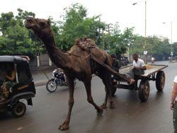 csc-camel